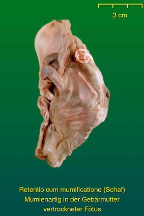 Fehlbildungen Körper • Institut für Veterinär-Anatomie • Fachbereich ...