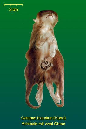 Hund • Institut für Veterinär-Anatomie • Fachbereich Veterinärmedizin
