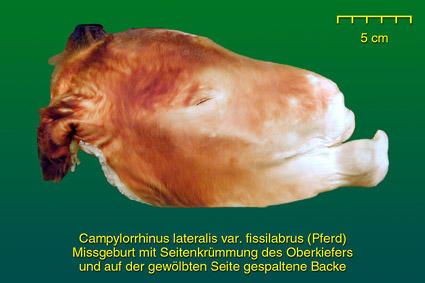 Fehlbildungen Gesicht • Institut für Veterinär-Anatomie ...