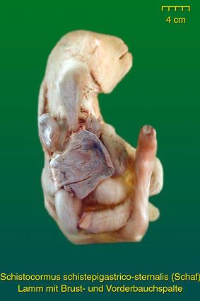 Fehlbildungen Rumpf • Institut für Veterinär-Anatomie • Fachbereich ...