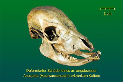 Deformierter Schädel • Institut für Veterinär-Anatomie • Fachbereich ...