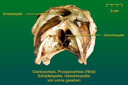 Schädel- und Gesichtsspalten • Institut für Veterinär-Anatomie ...