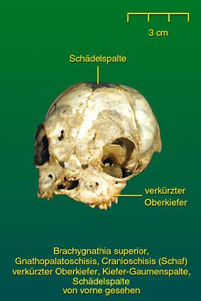 Missgebildete Kiefer • Institut für Veterinär-Anatomie • Fachbereich ...