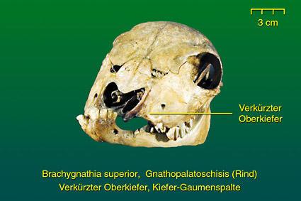 Rind • Institut für Veterinär-Anatomie • Fachbereich Veterinärmedizin