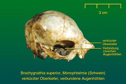 Schwein • Institut für Veterinär-Anatomie • Fachbereich Veterinärmedizin