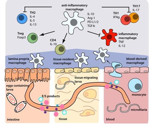 Anti-inflammatory mechanisms of nematode-modulated macrophages/monocytes in the intestine, skin and blood (Steinfelder et al. PLOS Pathogens, 2016).