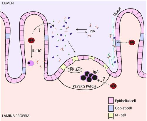 Schematic overview of the functions of intestinal eosinophilic granulocytes. (Click on the image for a detailed legend.)