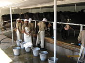 Cow Milking Improved  -  Ethiopia